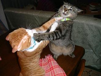 Boxercats